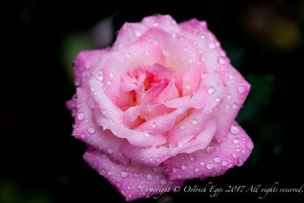 Photos: Rose-3692