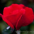 Photos: Rose-3693