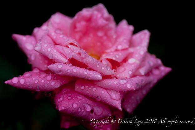 Photos: Rose-3694