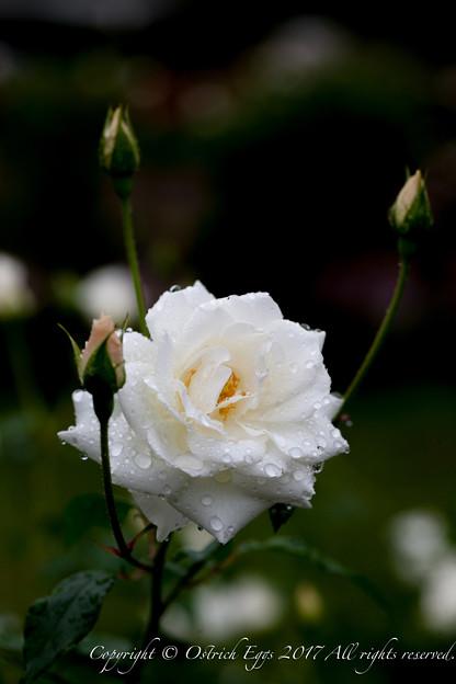 Photos: Rose-3695