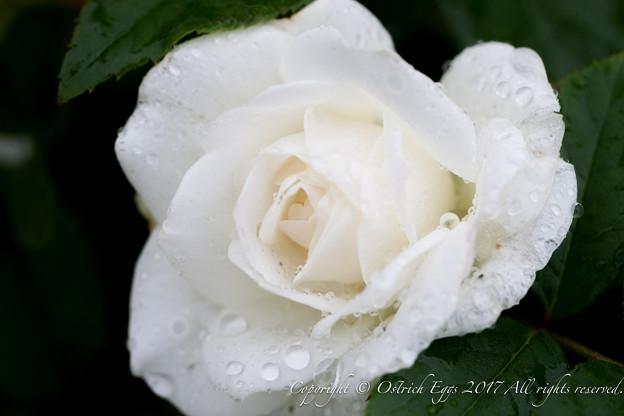 Photos: Rose-3696