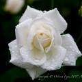 Photos: Rose-3697