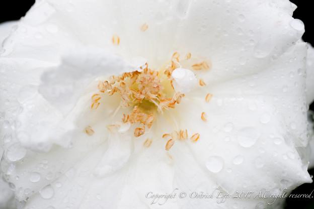 Photos: Rose-3698