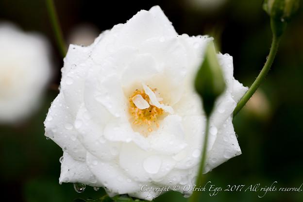 Photos: Rose-3699