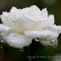 Photos: Rose-3700