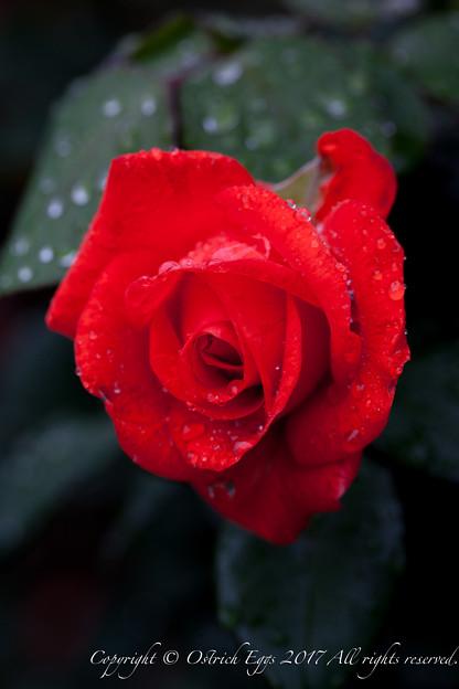 Photos: Rose-3702