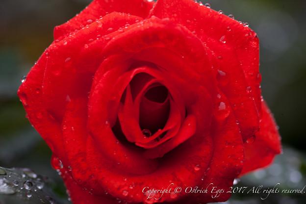 Photos: Rose-3703