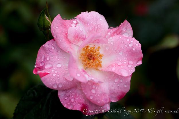 Photos: Rose-3709