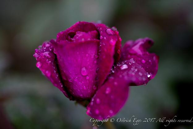 Photos: Rose-3717