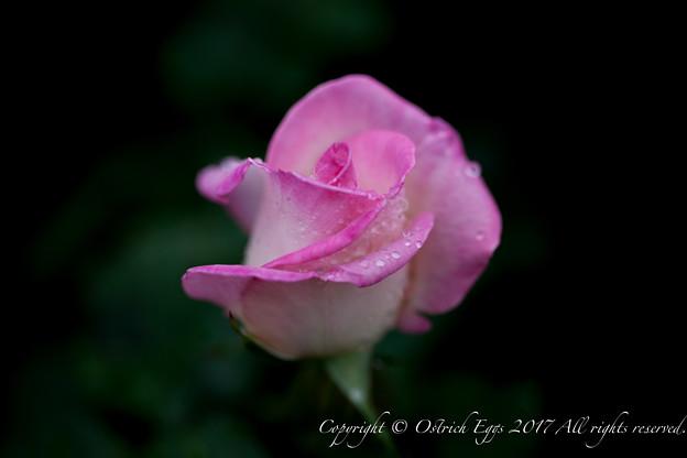 Photos: Rose-3723
