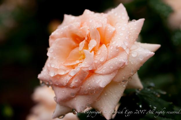 Photos: Rose-3726
