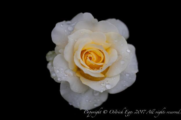 Photos: Rose-3741