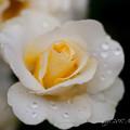 Photos: Rose-3743