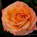 Photos: Rose-3744