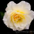 Rose-3748