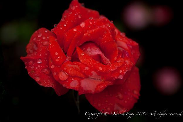Photos: Rose-3754