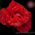 Rose-3754