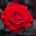 Rose-3758