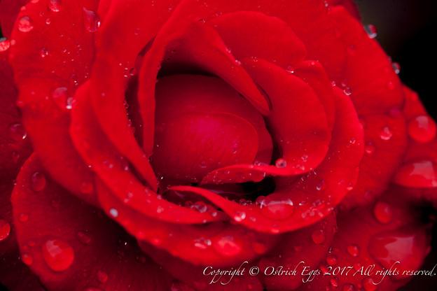 Photos: Rose-3759