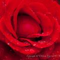 Rose-3759