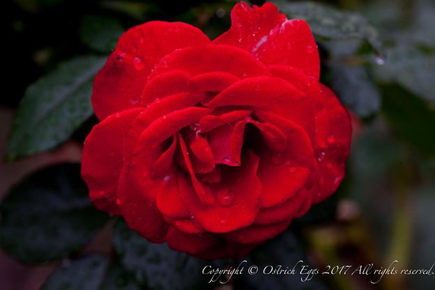 Photos: Rose-3760