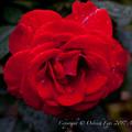 Rose-3760