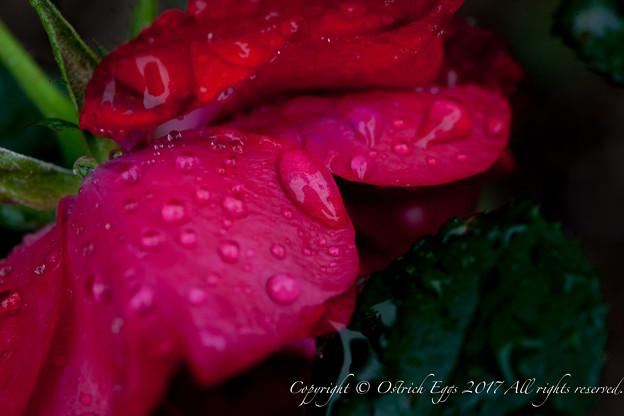 Photos: Rose-3761