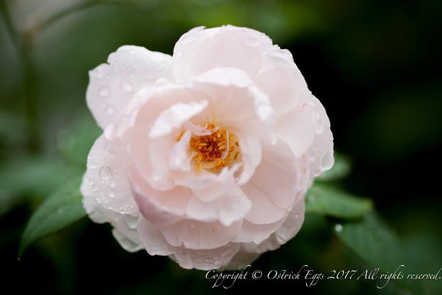 Photos: Rose-3768