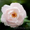 Rose-3768