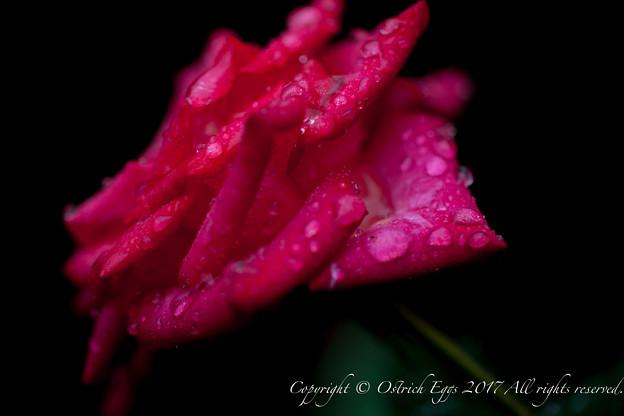 Photos: Rose-3774
