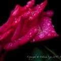 Rose-3774