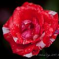 Rose-3775