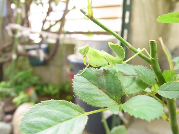 【園芸】カマキリがミニバラの葉の上に!|2017年[梅雨]