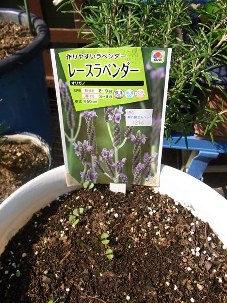 【園芸】レースラベンダー発芽|2017年[秋]