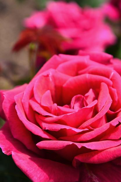 2017中之島公園の薔薇