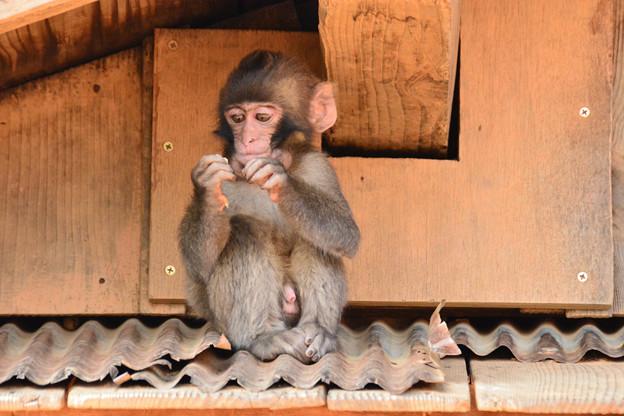 Photos: 子猿