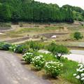 棚田と紫陽花