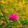 写真: 紅葉と山茶花