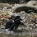 写真: 170414-10カラスの水浴び