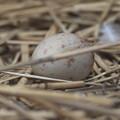 写真: 170414-16タンチョウ(動物園)の卵