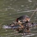 写真: 170417-8卵をひっくり返すカイツブリ