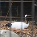 170418-4卵を抱くタンチョウ(動物園)
