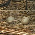 写真: 170418-6卵が二個になりました・タンチョウ(動物園)