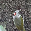 Photos: 170427-12巣穴掘りを始めたアオゲラ