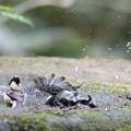 Photos: 170501-5シジュウカラの水浴び
