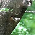 170429-24アオゲラの巣穴を占領し続けるムクドリ(2/2)