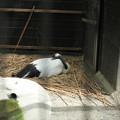 170506-25卵を温めていると思ったら・タンチョウ(動物園)