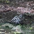写真: 170508-9コゲラの水浴び