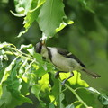 170615-5シジュウカラの幼鳥