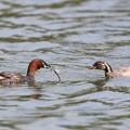 写真: 170616-3捕ったトンボを幼鳥に運ぶカイツブリ(2/12)